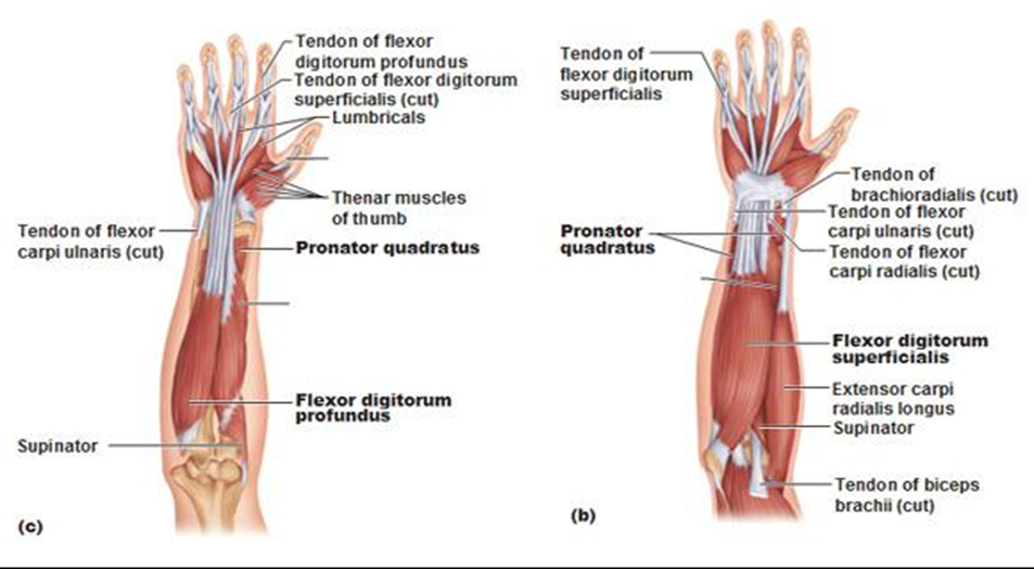 The Upper Extremity Module Three Pass The Ot